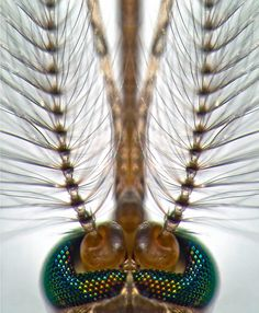 Head of a male Culex pipiens mosquito | Fiber Optic | Nikon Small World