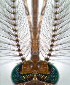 Head of a male Culex pipiens mosquito | Fiber Optic | Nikon Small World