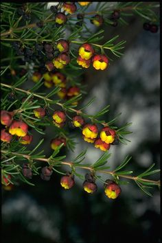 Brown Baronia, Sweet Boronia (Boronia megastigma) low boronia hedge :)