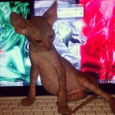 Coco-Mau Aqua computer savvy kitten