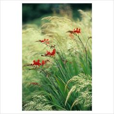 Stipa calamagrostis with Crocosmia 'Lucifer' ... This picture really shows off the grass' silver-green flower colour when it first opens