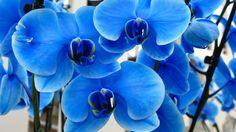 Orquídeas Azules en Keukenhof #nofilter #orchids #blueorchids #spring #keukenhof #nederland by ketutita