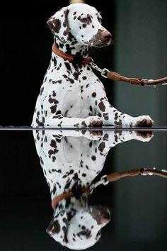Dalmation. Double Dog. Daniel Karmann / AFP - Getty Images via Animal Tracks