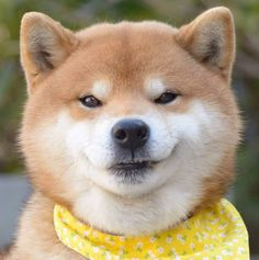 'tude ;-) Cute Funny Animals, Cute Baby Animals, Animals And Pets, Chien Shiba Inu, Pet Dogs, Dog Cat, Dog Breeds List, Hachiko, Japanese Dogs