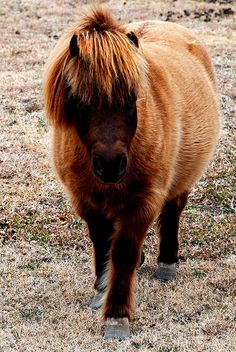 Miniature Horse posing