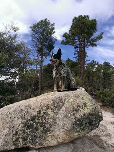 Dingo the Destroyer hiking on Mt.  Lemon,  Az with his Daddy.