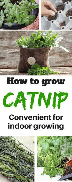 Catnip doesn�t need a lot of care nor investment. This is one of the reasons why it is convenient for indoor growing #followmetosupportmysite#garden#gardening#herbs#growyourmint.com