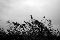 Dancing reeds in monochrome.