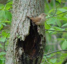 House Wren making a nest. #nwf #BackyardHabitat #StarWoods