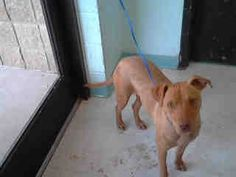 (Tulsa Animal Welfare) Female pit mix found 3/27 #A076539