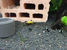 Mein Taiwaner - Blue Panda Bees