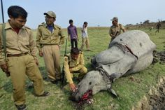 Oficiales indios observan a un rinoceronte a los que los cazadores ilegales han arrancado el cuerno y lo han asesinado en el campo de Tuplung, en la reserva natural de Pobitora, en el distrito de Assam, India. (EFE) - See more at: http://hd.clarin.com/page/11#sthash.4Ohyfb24.dpuf