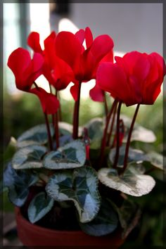 "Taking care of a cyclamen properly is essential if you wish to keep them lasting year after year. Many owners ask ""How do I take care of a cyclamen plant?"" This article will help answer that."