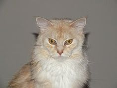 Angry Maine Coon Cat look Maine Coon Kittens, Gallery, Animals, Animales, Roof Rack, Animaux, Animal, Animais