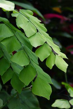 Adiantum formosum (Giant maidenhair fern)