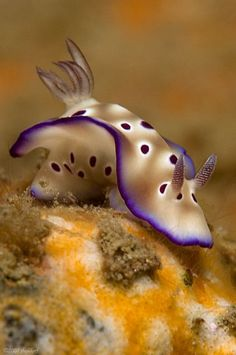 ^Nudibranch ♥ I wish I could live under the sea ☮re-pinned by http://facebook.com/southfloridah2o