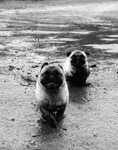 Pugs in the mud