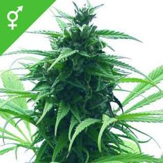 Feminized Cannabis Seeds Super Skunk Feminized is a is a feminized strain, which will only produce plants that flower as females. Weed Buds, Weed Plants, Purple Candy, Weed Strains, Weed Shop, Rough Day, Medical Marijuana, Natural Oils, Seeds