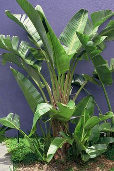 Wairere Nursery, Auckland | Landscape Plants and Succulents |  Strelitzia nicolai (Giant Bird of Paradise)