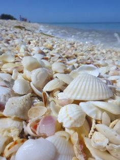 Primrose Garden / Shells on the beach …