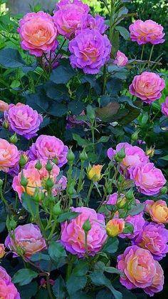 Beautiful Rose Flowers, Love Rose, Flowers Nature, Exotic Flowers, Amazing Flowers, Beautiful Flowers, Pink Roses, Pink Flowers, English Garden Design