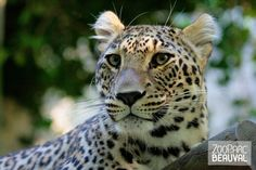 #Panthère de Perse au ZooParc de Beauval