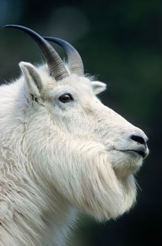 Mountain Goat billie standing on a rock shelter & observing his environment - (Rocky Mountain Goat)