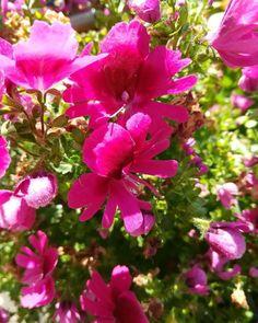 Bauernorchidee in Knallpink  #Orchidee #Bauernorchidee #Pink #Blumen #Blume #Blumengarten #Garten #Flowers #Flower #Garden