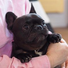 Theo Hokus, the French Bulldog Puppy❤️ to be featured . Cute French Bulldog, French Bulldog Puppies, French Bulldogs, Cute Puppies, Cute Dogs, Dogs And Puppies, Doggies, Animals And Pets, Baby Animals