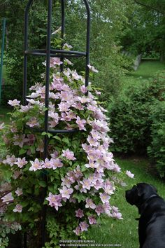 Photo of Clematis (Clematis 'Piilu') uploaded by nben