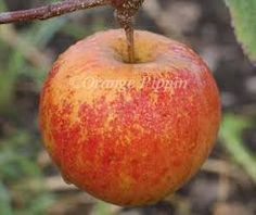 espalier falstaff apples - Google Search