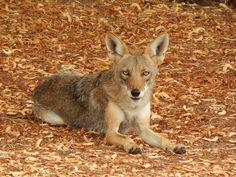Beautiful Arizona coyote.