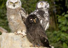Rapaci notturni - falconeria