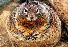 chubby chic
