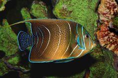 Koran Angelfish - Pomacanthus semicirculatus. Photo by Loot Eksteen -