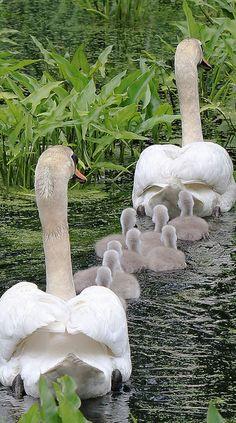 Cisnes con sus crías http://www.animalesomnivoros.es/aves-omnivoras/