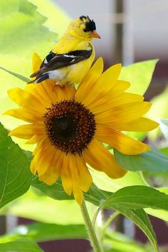 Sunflower and Golden Finch, Bird, Yellow. Yellow Finch, Yellow Birds, Yellow Things, Sunflower Pictures, Goldfinch, Bird Cages, Colorful Garden, Little Birds, Wild Birds