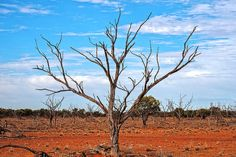 This dead tree still stands tall in the Australian Outback. This area near Quilpie in Queensland has suffered through long-term drought. #australia #outback #drought #tree