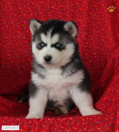 Siberian Husky Puppy for Sale in Pennsylvania
