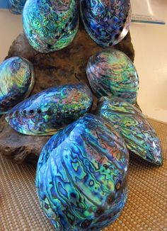 Paua shells, New Zealand - this is a pays shell, often confused with are Californian abolone shell. I get pretty annoyed when some calls my abolone shells paua shell. Paua Shell, Abalone Shell, Kiwiana, Shell Art, Rocks And Minerals, Sea Creatures, Starfish, Nautilus, New Zealand