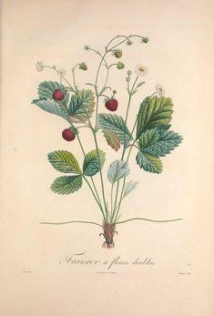 Pomologie française : recueil des plus beaux fruits cultivés en France, vol 2 | illustrated by P. J. F. Turpin | 1846