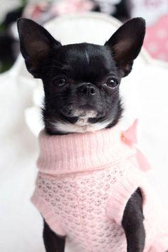 Dog - Chihuahua - Mercredi on www.yummypets.com