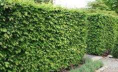 Sichtschutz: Die besten Heckenpflanzen -  Die optimale Heckenpflanze für die jeweiligen Boden- und Standortverhältnisse zu finden, ist nicht ganz einfach. Wir nennen die elf besten Bäume und Sträucher für geschnittene Hecken – mit allen Vor- und Nachteilen.