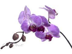 Blumenbild auf Leinwand oder Kunstdruck lila Orchidee