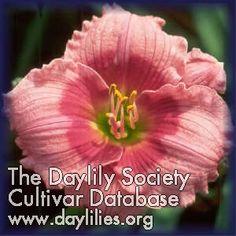Daylily Rose Katherine