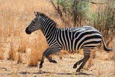 Zebra - Animal Facts and Information Animal Z, Animal Facts, Mundo Animal, Majestic Animals, Animals Beautiful, Cute Animals, Wild Animals, Animal Alphabet, African Animals