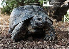 Testuggine marginata (Testudo marginata) - Marginated Tortoise or Margined Tortoise