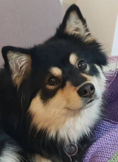 Small Puppies, Cute Puppies, Cute Dogs, Pomsky Puppies, Bulldog Puppies, Animals And Pets, Baby Animals, Funny Animals, Sweet Dogs