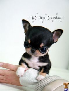 teacup rat terrier i found buddy on chihuahuas coloring and terrier mix 5163