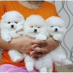 Samoyed Dogs, Pomeranian Puppy, Pomeranians, Bichons, Cute Baby Dogs, Cute Cats And Dogs, Cute Wild Animals, Animals And Pets, Adorable Animals